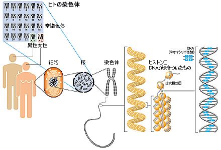 人の染色体